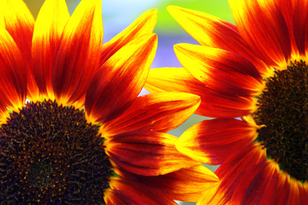 birds scenery: Red Sunflowers Intertwined