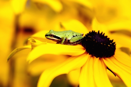 Treefrog on Black Eyed Susan