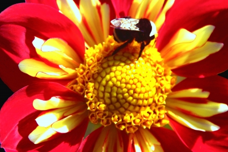 Bumblebee on Magenta and Yellow Dahlia  Stock Photo