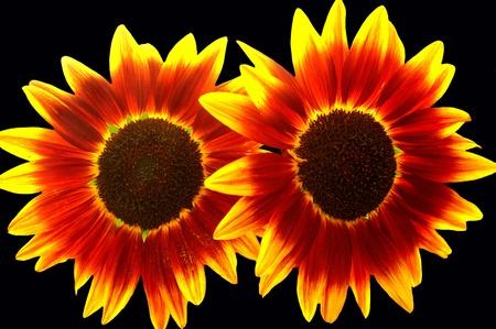 Sun Kissed Sunflowers on Black photo