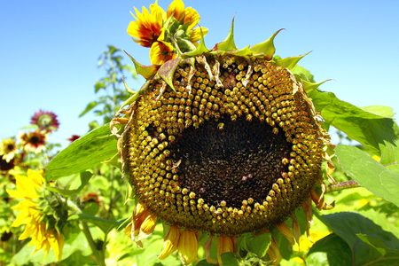 Sunflower Scarecrow photo