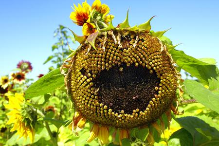 Sunflower Scarecrow photo