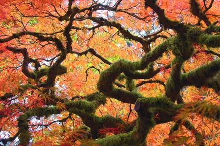 arbol de la vida: Arce japonés Gnarly Árbol Foto de archivo