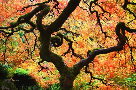 Árbol vibrante arce japonés