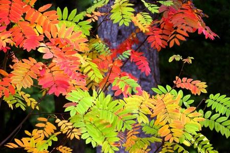 Montaña Vivid Árbol de Ceniza en el otoño