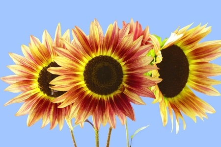 Three Red and Yellow Sunflowers on Blue