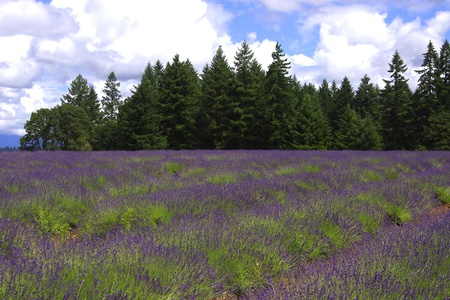 Field of Lavender with Evergreens and Clouds photo