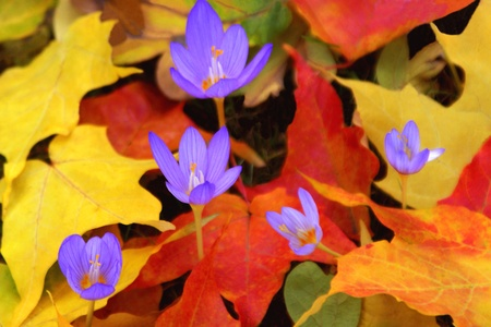 Fall Crocus Surrounded by Colorful Leaves Stock Photo