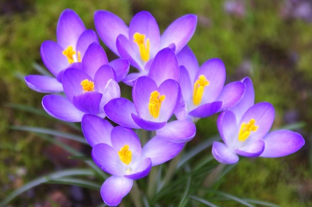 Group of Purple Crocuses Stock Photo - 12867948