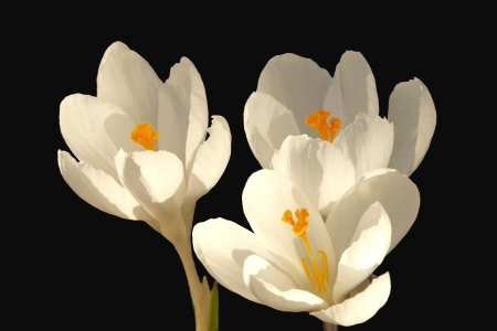 Three White Crocuses on Black photo