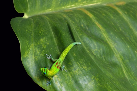 Gold Dust Gecko on Philodendren Leaf in Hawaii Stock Photo