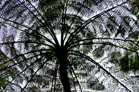 Lacy Mimosa Tree in Hilo Hawaii Stock Photo - 13208543
