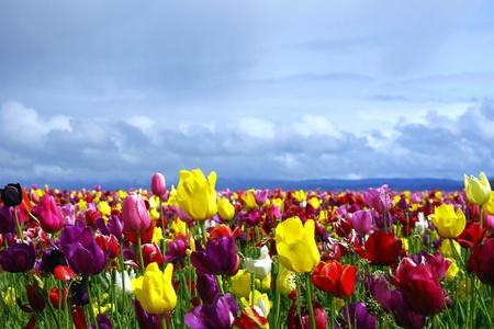 tulipan: Kolorowe Pole Tulip w ciemniejÄ…ce niebo Zdjęcie Seryjne