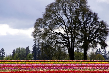 Woodburn Oregon Tulip Fields Stock Photo - 13562777