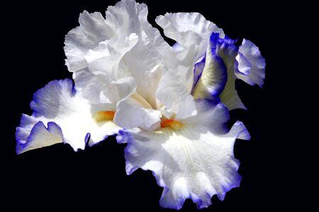 Purple and White Bearded Iris on Black Stock Photo - 13759365