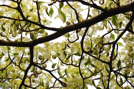 Pagoda Dogwood Tree Stock Photo - 13759370