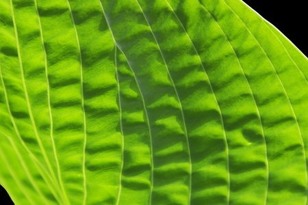 Closeup of a Hosta Leaf on Black Stock Photo - 13993684