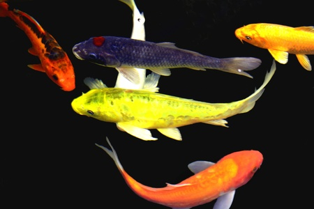 koi fish pond: Colorful Koi on Black Stock Photo