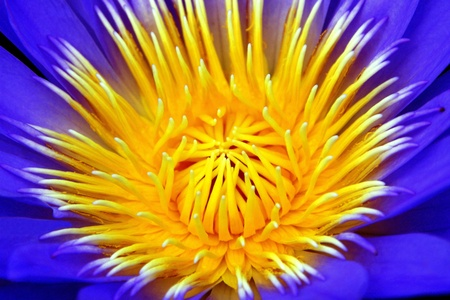 Inside of a purple Waterlily photo