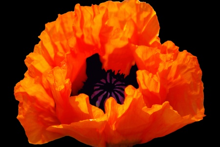 Orange Himalayan Poppy with Photoshop Pistil photo