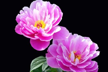 pfingstrosen: Close up von zwei rosa Pfingstrosen auf Schwarz