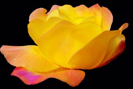Hybrid Tea Rose with Raindrops Stock Photo - 14248395