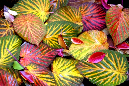 Colorful Dove Tree Leaves in Autumn Stock Photo - 14460459