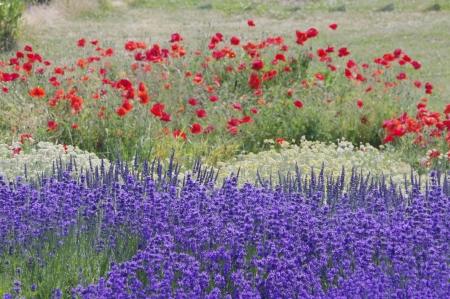 wildblumen: Bunte Lavendel und Mohnblumen-Feld