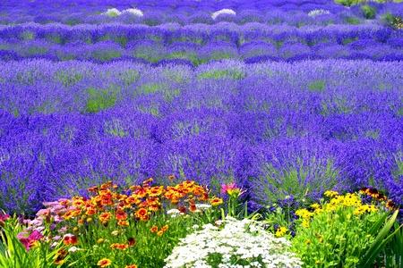 lavanda: Campo de lavanda con flores multicolores
