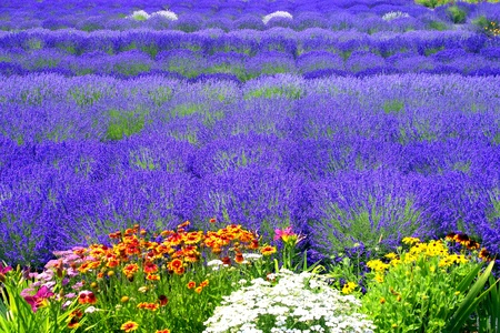 Lavender Field with Multicolored flowers Stock Photo
