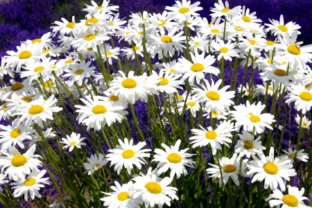 Shasta Daisies Surrounded by Lavender Stock Photo - 14460460