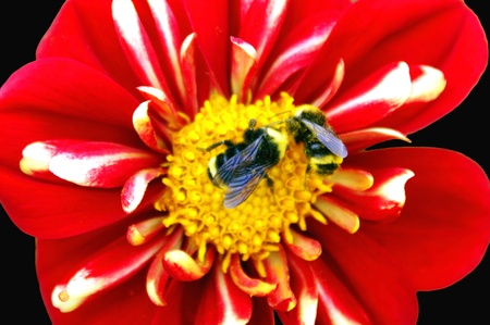 Two Bees on Striped Dahlia Stock Photo - 14460458