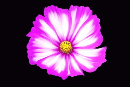 Close up of a White and Magenta Cosmos Stock Photo - 14626632