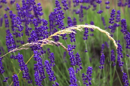 Rye Grasses with Lavender Stock Photo - 14626638