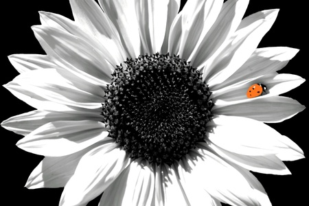 black and white farm: Sunflower in Black and White with Red Ladybug