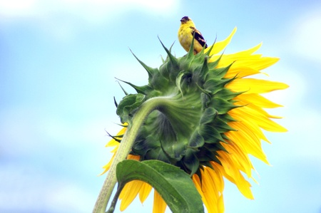 American Goldfinch on Sunflower photo