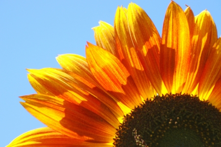 Orangey Yellow Partial Sunflower Stock Photo - 15124169