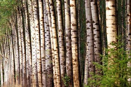 Grove of Birch Trees Stock Photo - 16232153