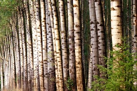 Grove of Birch Trees Stock Photo - 16232153