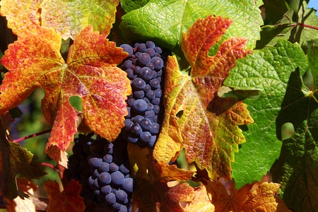 포도 수확: 가을 단풍에 둘러싸인 피노 누아 포도