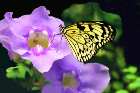Yellow and Black  Striped Butterfly on Purple Flowers photo