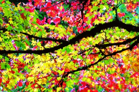fall scenery: Colorful Maple Tree Leaves