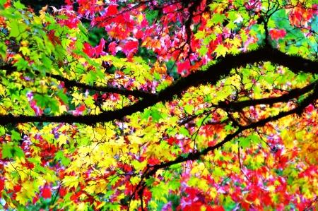 Kleurrijke Maple Bladeren van de Boom Stockfoto