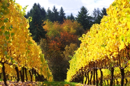 Colorful Vineyard in Autumn Stock Photo - 16694414