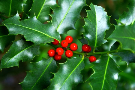 Holly Berry Branch Stock Photo - 16694411
