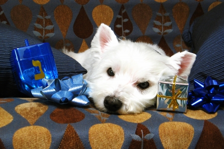 Westie with Chanukah Symbols Stock Photo - 16694413