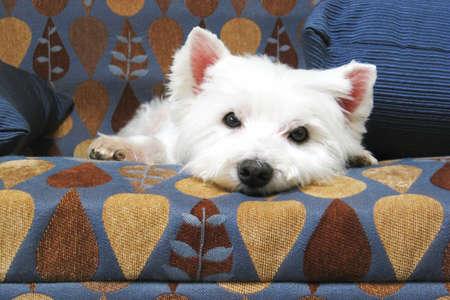 sprawled: Westie Sprawled out on Couch Stock Photo