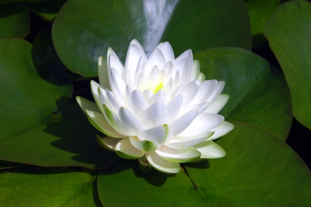 White Waterlily Floating on Lilypads Stock Photo - 17045005