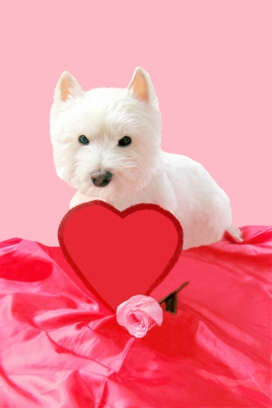Westie with rose and Valentine heart for Text photo