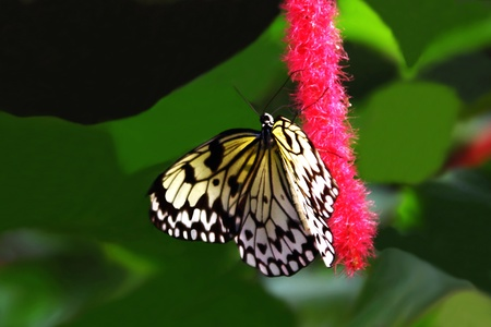 Yellow and Black Butterfly on Tropical Plant Stock Photo - 17886718